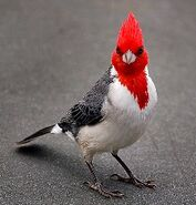 Red crested Cardinal (2)