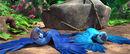 Blu-and-jewel-tied-to-a-boulder-blu-and-jewel-24812760-350-144
