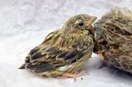 56743614-picture-of-a-cute-baby-bird-of-house-sparrow