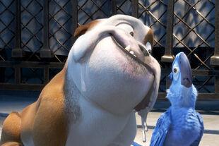 Bulldog luiz and blu i RIO
