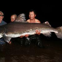 Piraiba River Monsters Wiki Fandom