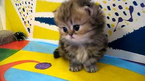 """Cute Persian kittens- the """"I"""" Litter 1 of ? - 7.10"""