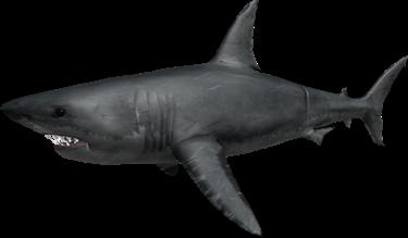 How To Bait A Shark Roblox Sharkbite Shark Roblox Shark Bite Wiki Fandom