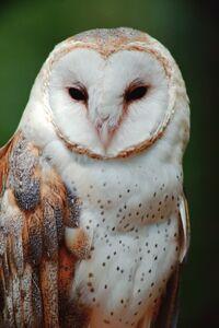 Wildlife barn owl.jpg
