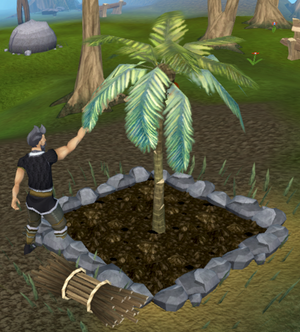 Picking coconuts.png