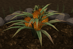Pineapple plant 7.png