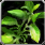 Icon - Cinnamon Leaf.png