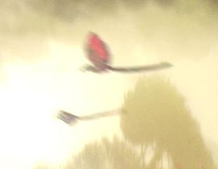Фелуцианская птица
