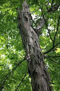 400px-Duke Forest shagbark hickory trunk