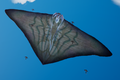 Manta With Flock.png