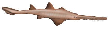 Sawfish.png