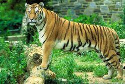 Panthera tigris tigris1.jpg