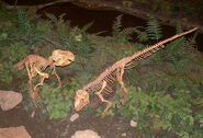 1280px-Psittacosaurus skeletons
