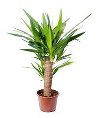 Yuccapalme.jpg