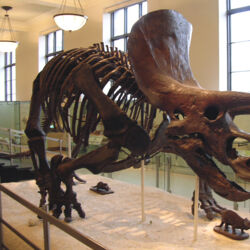 """Triceratops (""""Three Horned Face"""")"""