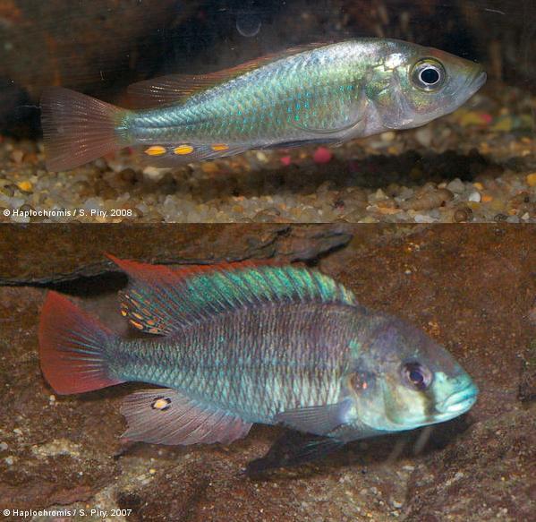Ускоренные темпы эволюции позволяют цихлидам адаптироваться к антропогенным изменениям среды