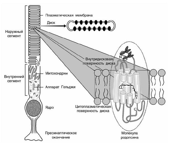 Белок и передача зрительных биосигналов