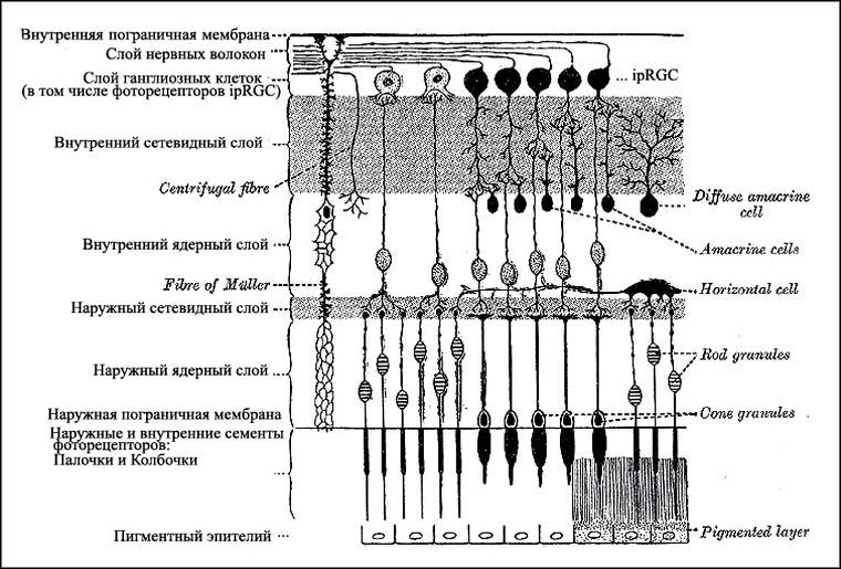 Фоточувствительные экстерорецепторы сетчатки