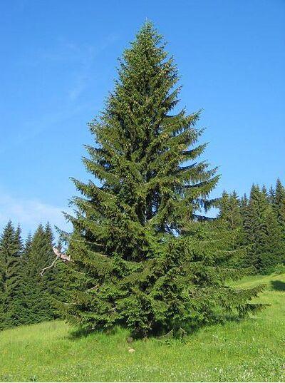 Picea abies1.jpg