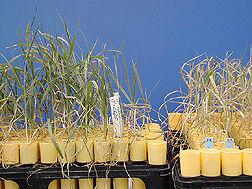 Wheat selection k10183-1.jpg