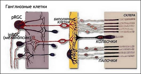 Биполярные клетки сетчатки