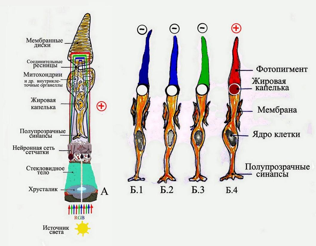 Зрительные пигменты и передача зрительного сигнала