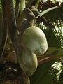 Female coco de mer growth