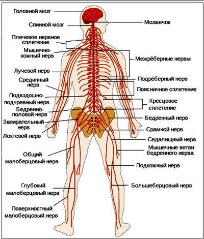 File TE-Nervous system diagram-ru+.jpg