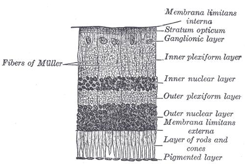 Пигментный эпителий сетчатки