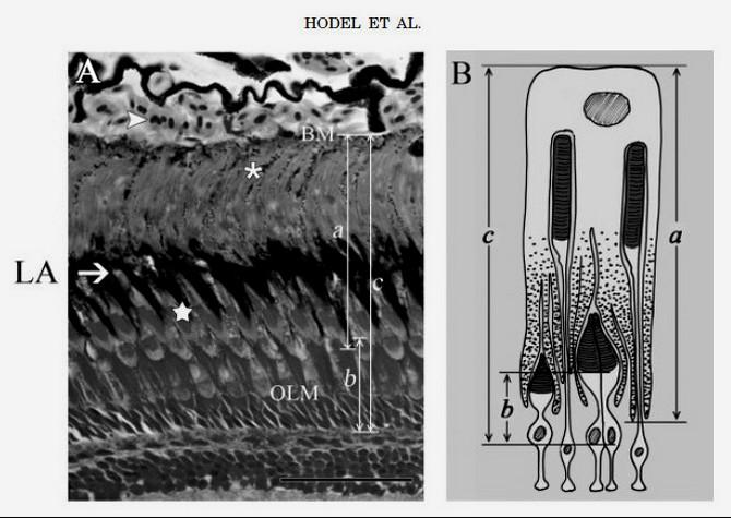 Ретиномоторная реакция фоторецепторов сетчатки глаза
