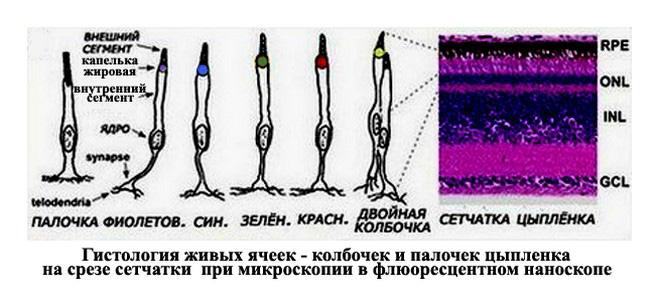 Мозаика и блоки фоторецепторов сетчатки