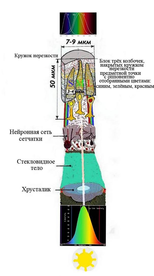 Специфика работы мембраны колбочек
