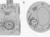Сравнение строения клеток бактерий, растений и животных