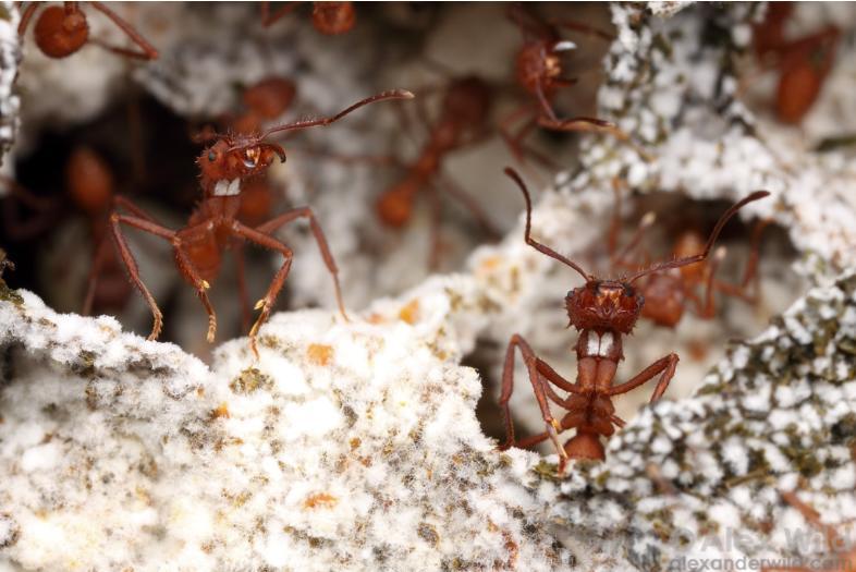 Муравьи-листорезы при уходе за потомством используют противогрибковый препарат
