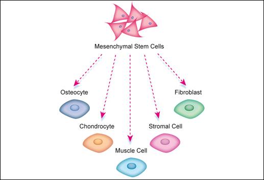 Μεσεγχυματικό Βλαστοκύτταρο