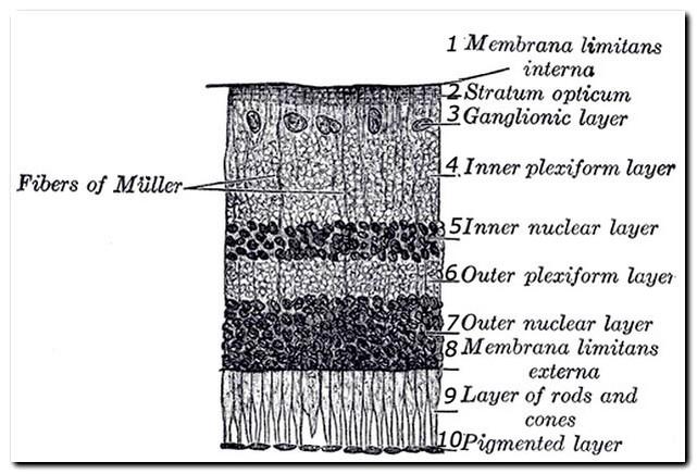 Ретинальный пигментный эпителий сетчатки глаза