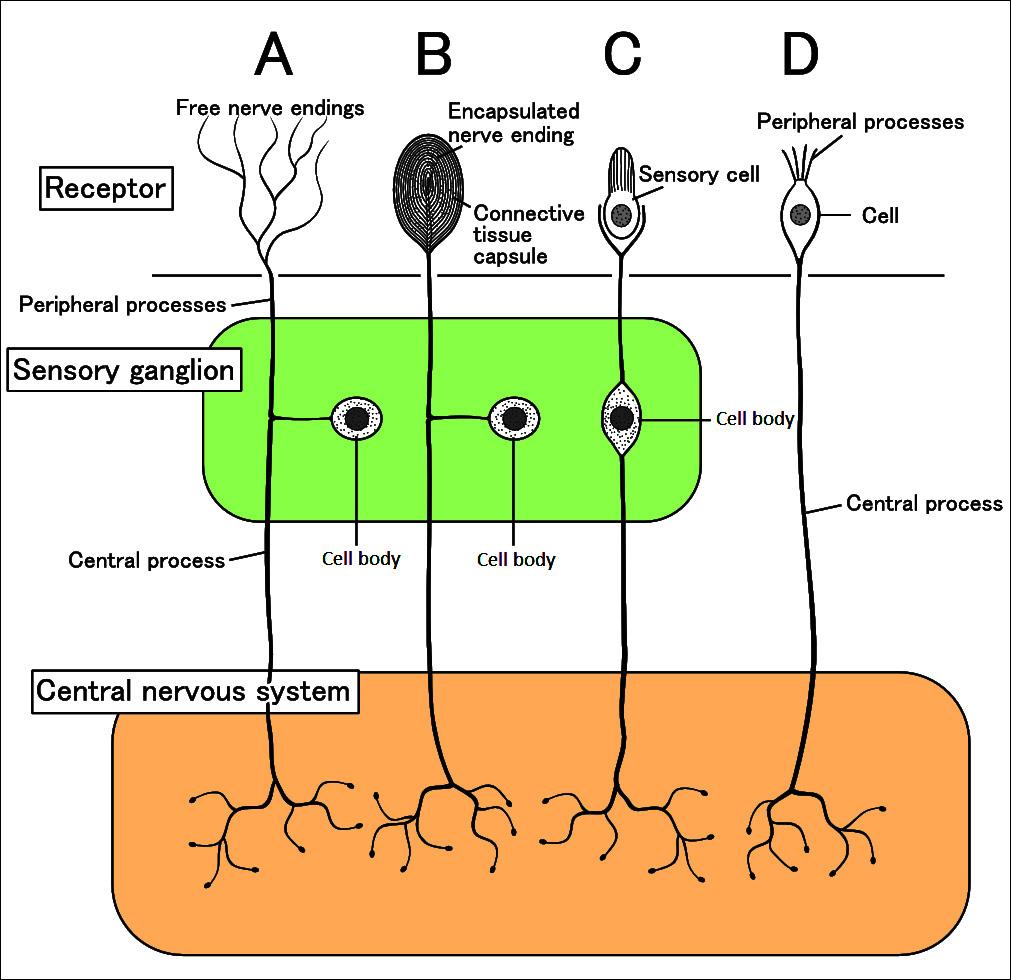 Рецептор (биология)