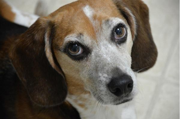 Собаки, ориентированные на общение с человеком, имеют мутации в пяти генах