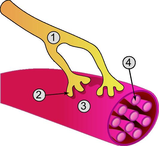Ретиномоторная реакция колбочек