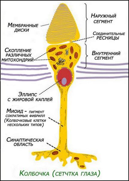Внешние доли фоторецептора — мембраны