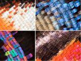 Промышленный меланизм бабочек получил генетическое объяснение