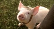 Babe-the-pig