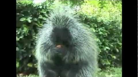 Porcupine Eating A Carrot - Song by Parry Gripp