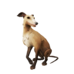 Fawn Whippet.png