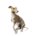 Streaked Whippet.png
