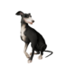 Silverfoot Whippet.png