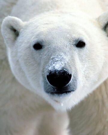 Polar Bear.jpeg