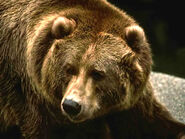 Brown-grizzly-bear