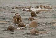 Herd of Walruses.jpg