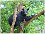 Blackbear hr